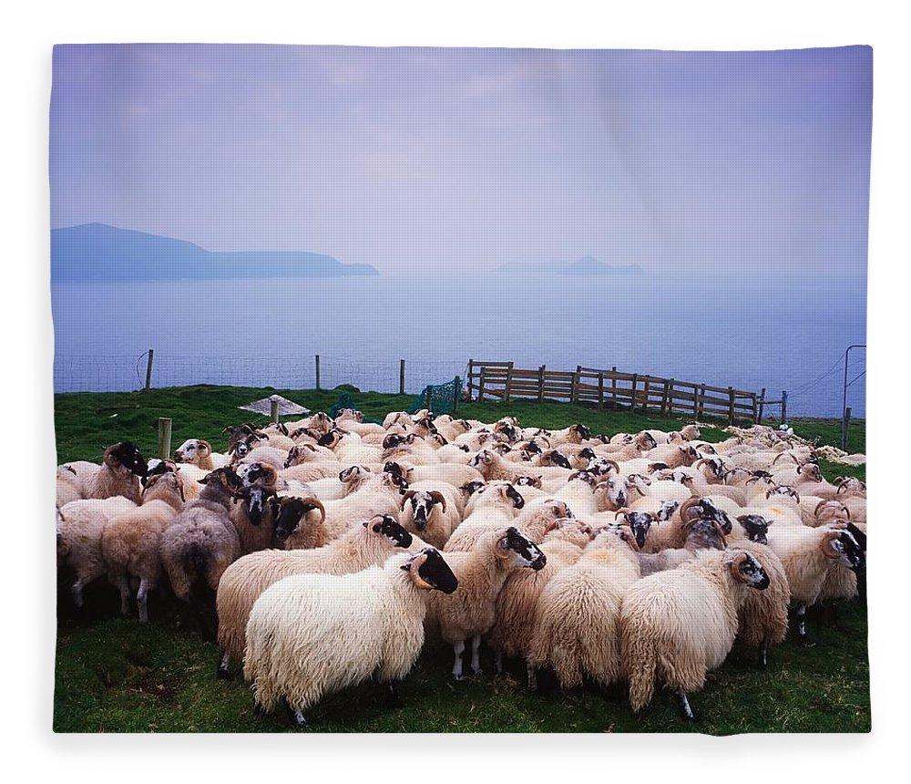 Animals Fleece Blanket featuring the photograph Herding Sheep, Inishtooskert, Blasket by The Irish Image Collection
