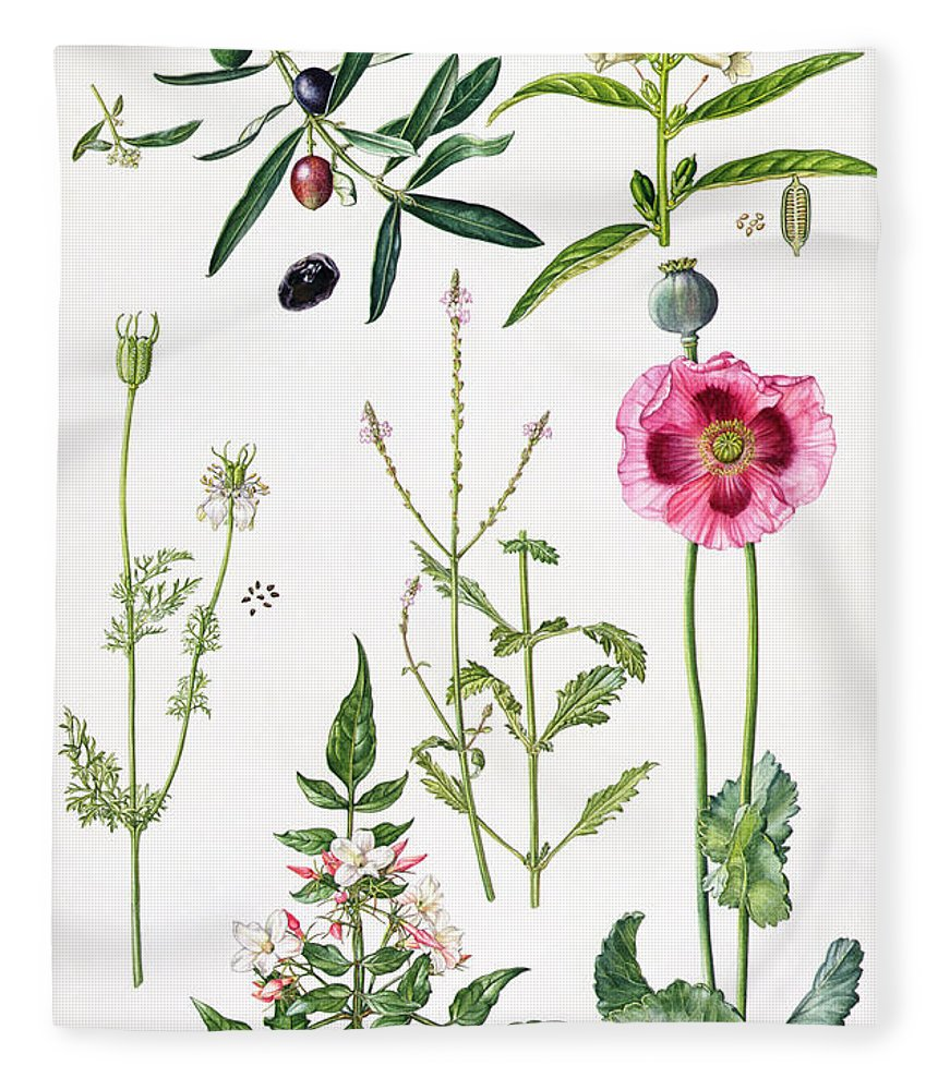 Sesame; Black; Cumin; Olive; Vervain; White; Jasmine; Herb; Botanical; Herbs; Opium Poppy; Olives; Leaf; Leafs; Flower; Flowering Fleece Blanket featuring the painting Opium Poppy And Other Plants by Elizabeth Rice