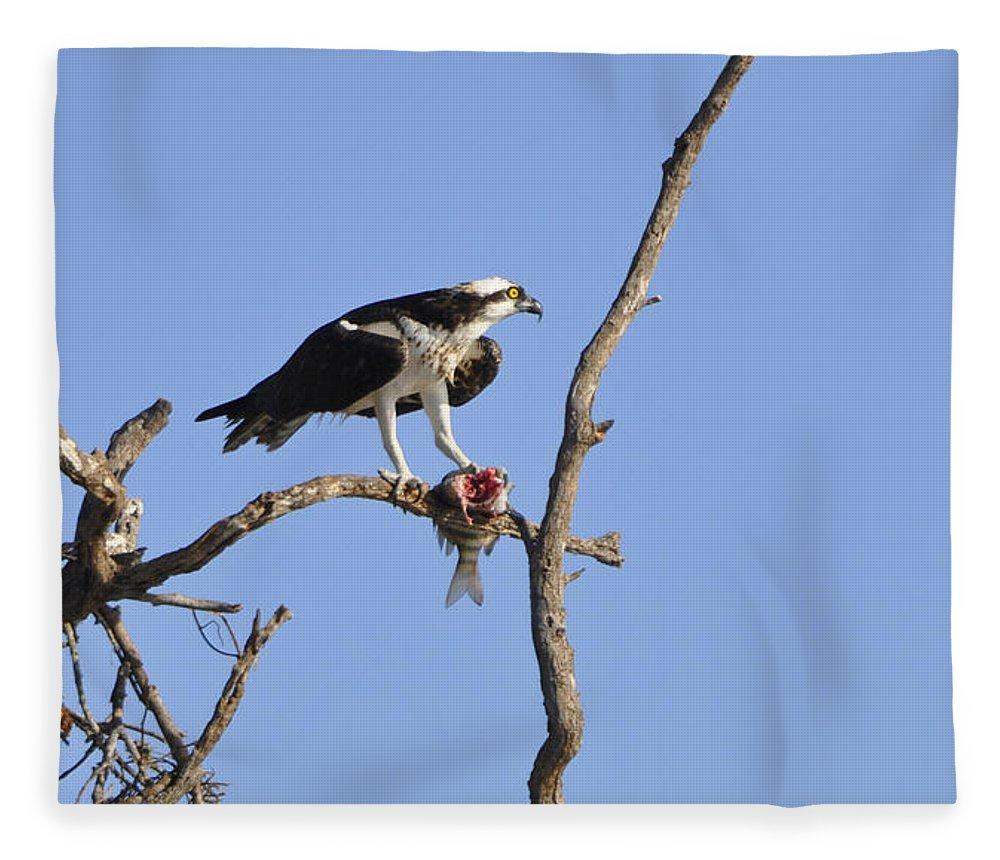Osprey Fleece Blanket featuring the photograph Osprey with Catch II by Christine Stonebridge