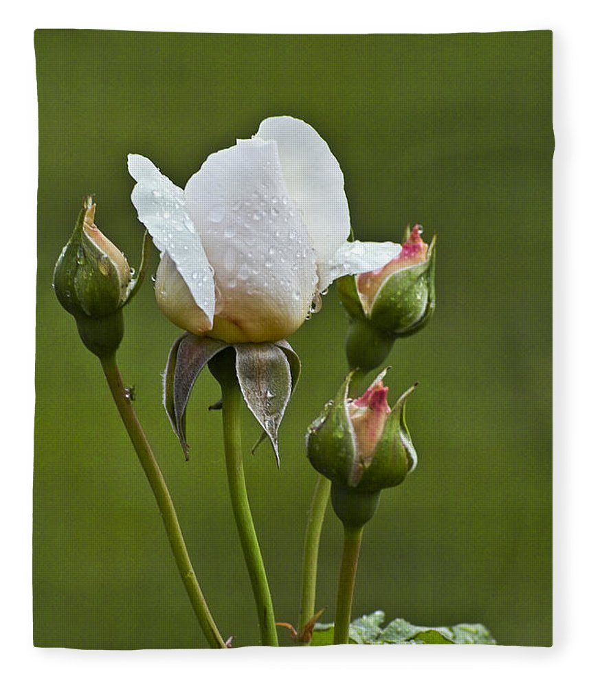 Rose Fleece Blanket featuring the photograph Rose Flower Series 6 by Heiko Koehrer-Wagner