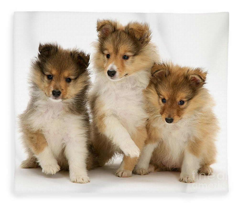 Sheltie Puppies Fleece Blanket For Sale By Jane Burton