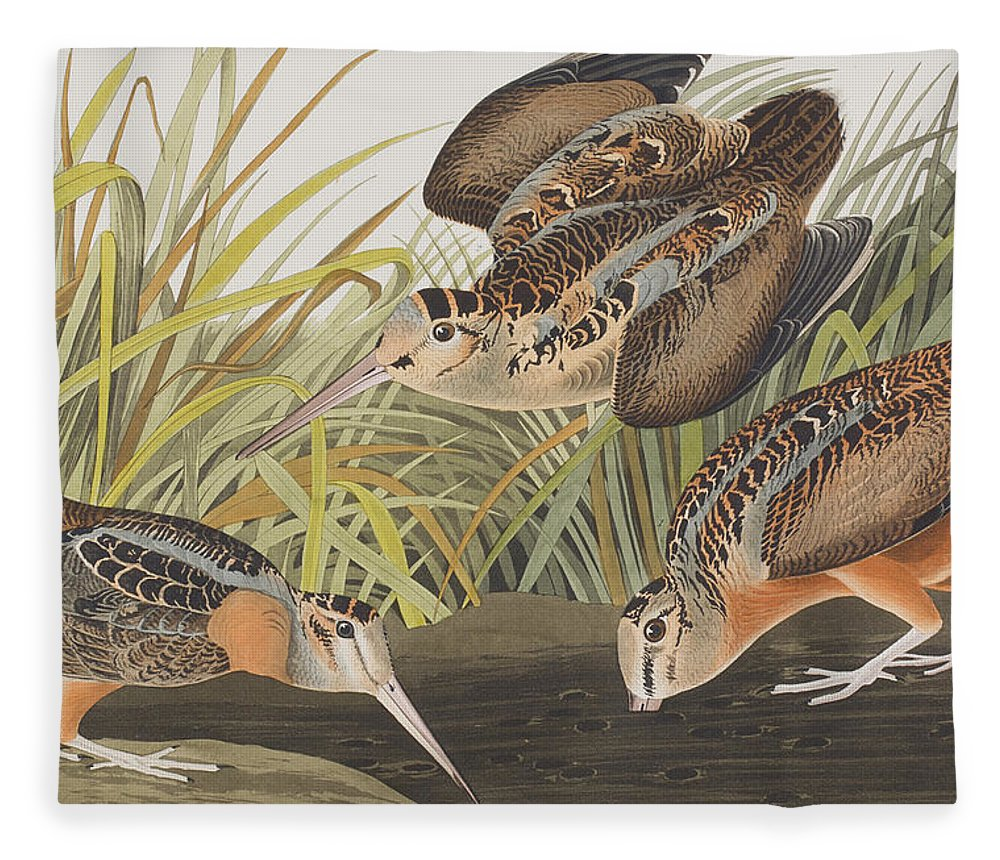 Ornithology Fleece Blanket featuring the painting American Woodcock by John James Audubon