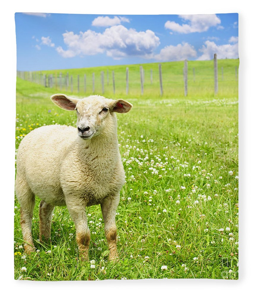 Sheep Fleece Blanket featuring the photograph Cute Young Sheep by Elena Elisseeva