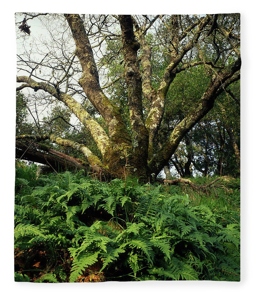 Ferns Fleece Blanket featuring the photograph 1b6339 Frens And Oaks On Our Mountain by Ed Cooper Photography
