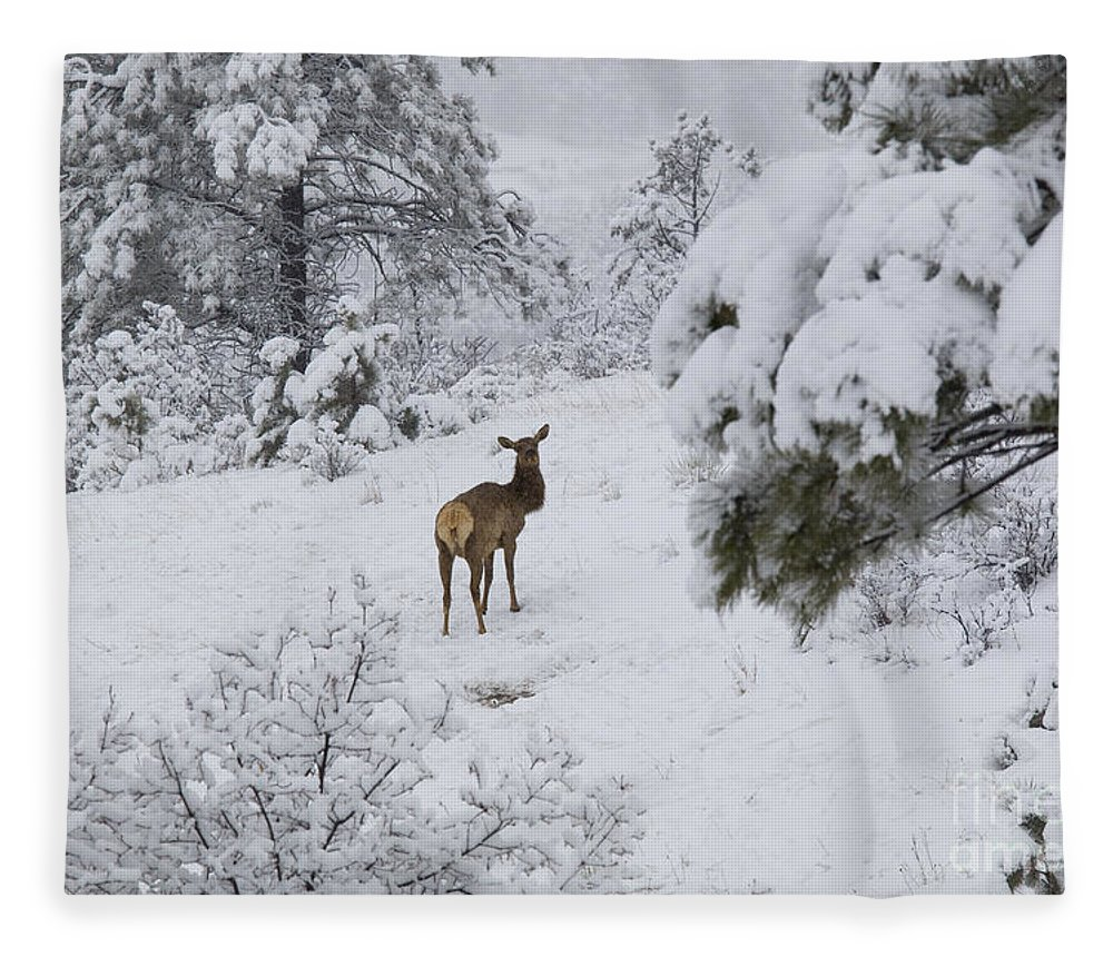 Elk Fleece Blanket featuring the photograph Elk In Deep Snow In The Pike National Forest by Steve Krull