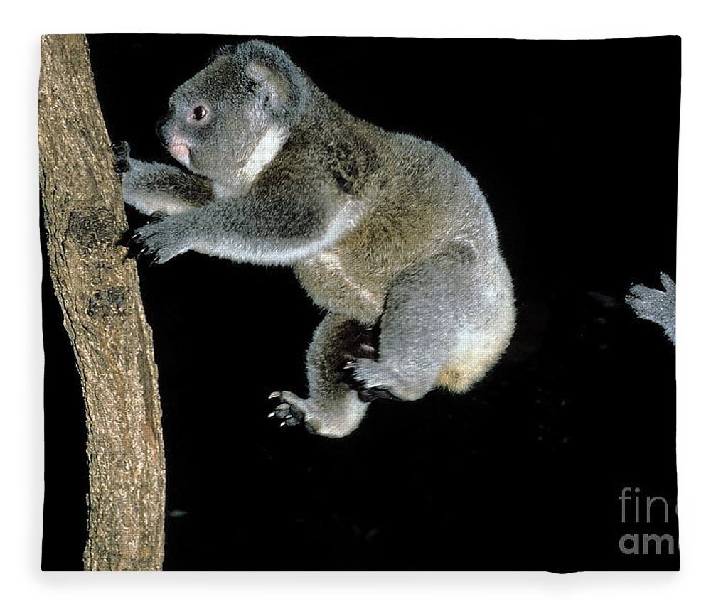 Adult Fleece Blanket featuring the photograph Koala Phascolarctos Cinereus by Gerard Lacz