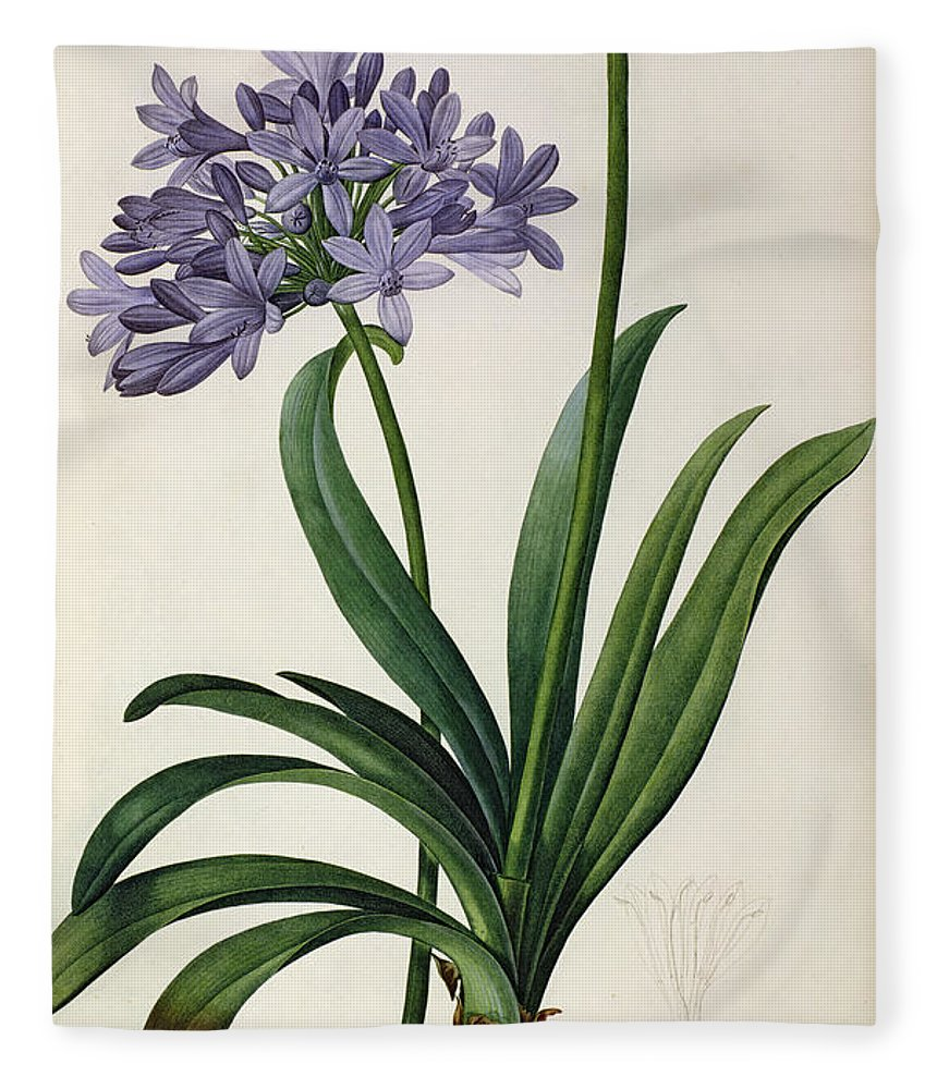 Agapanthus Fleece Blanket featuring the painting Agapanthus Umbrellatus by Pierre Redoute
