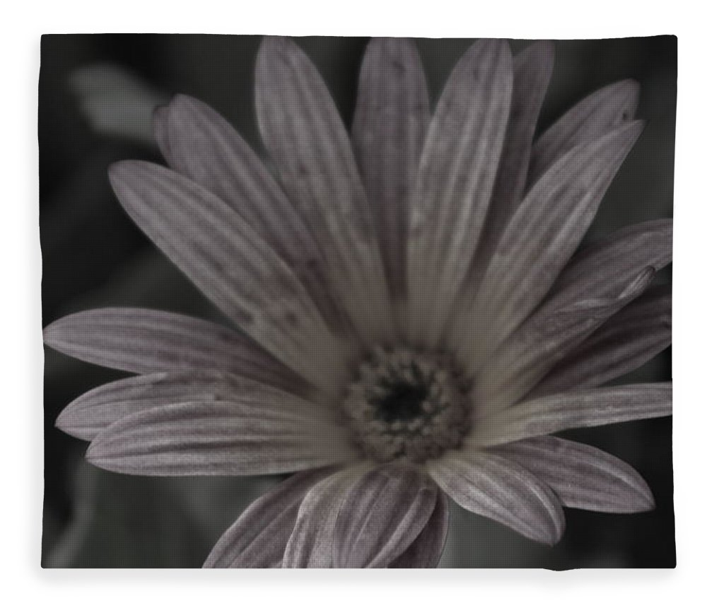 Zinnia Fleece Blanket featuring the photograph Almost Black And White Pale Pink African Daisy Photograph by Colleen Cornelius