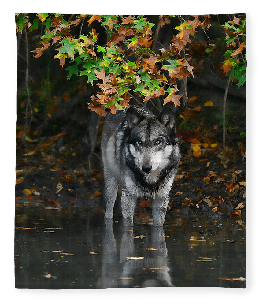 Wolf Wolves Lupine Canis Lupus Wildlife Animal Photography Photograph Fleece Blanket featuring the photograph Autumn Wolf by Shari Jardina