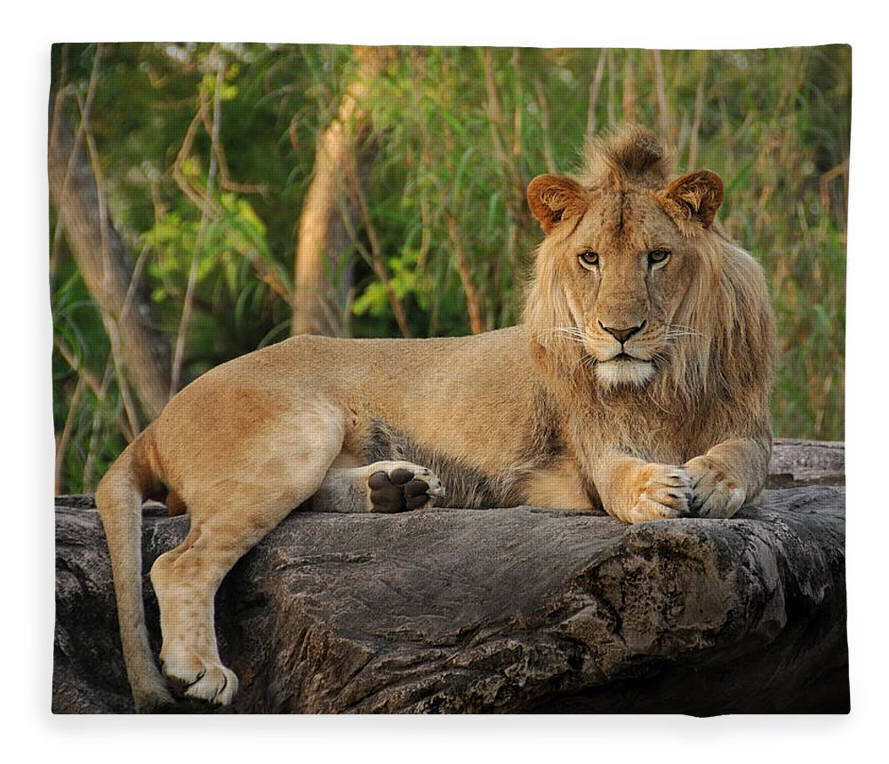 Lion Fleece Blanket featuring the photograph Classic Young Male by Steven Sparks