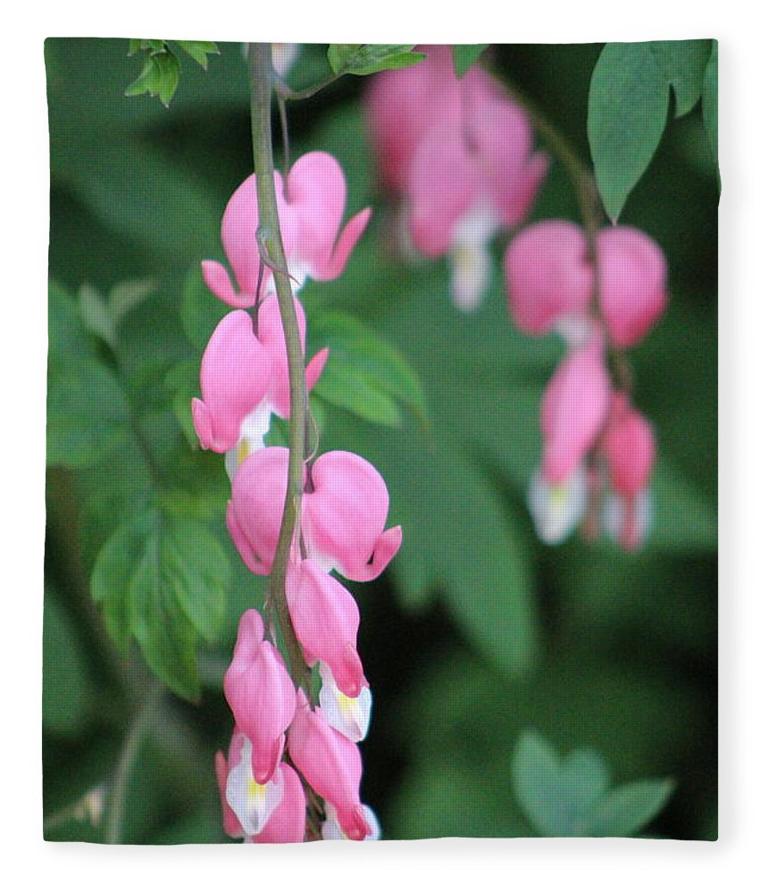 Peacock Pink Fleece Blanket featuring the photograph Close Up Of Peacock Pink Bleeding Hearts On Hunter Green Foliage 2 by Colleen Cornelius