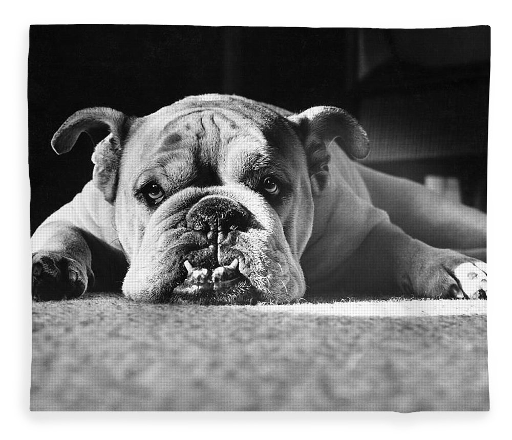 Animal Fleece Blanket featuring the photograph English Bulldog by M E Browning and Photo Researchers