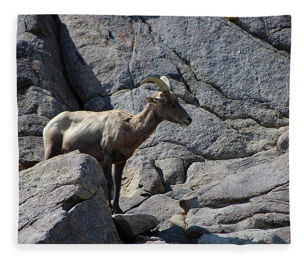Bighorn Sheep Lamb Fleece Blanket featuring the photograph Ewe Bighorn Sheep by Colleen Cornelius