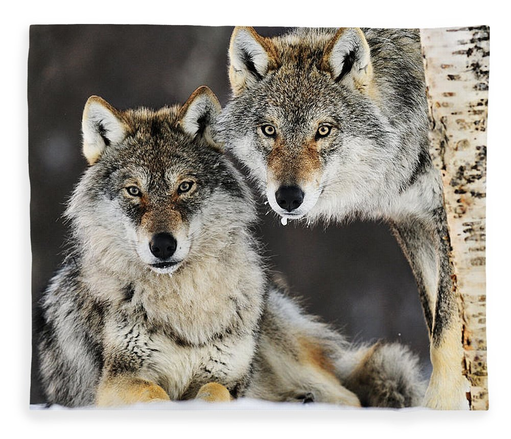 Mp Fleece Blanket featuring the photograph Gray Wolf Canis Lupus Pair In The Snow by Jasper Doest