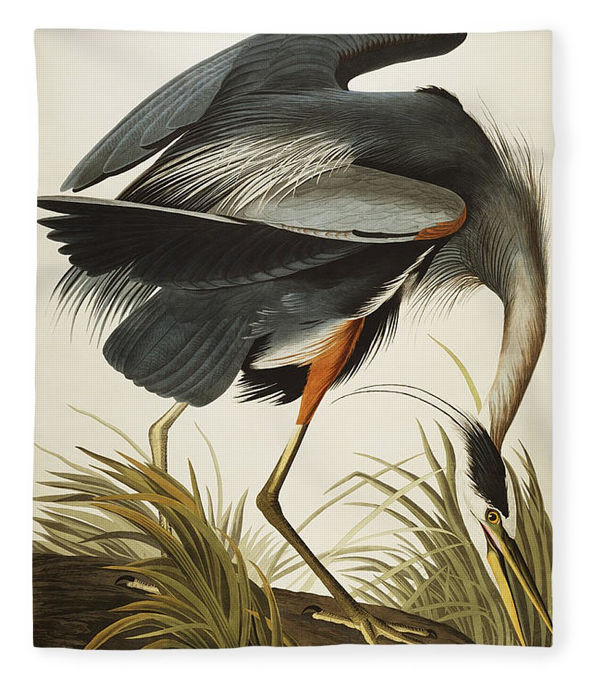 Great Blue Heron Fleece Blanket featuring the drawing Great Blue Heron by John James Audubon
