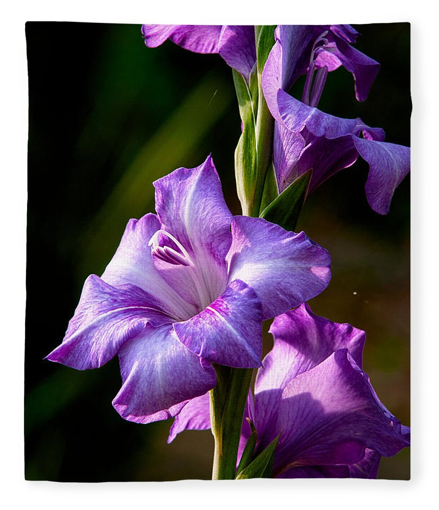 Gladiolas Fleece Blanket featuring the photograph Purple Glads by Christopher Holmes