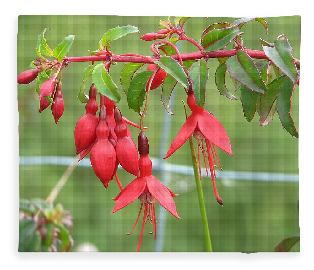 Fresia Fleece Blanket featuring the photograph Red Fresia by Kelly Mezzapelle