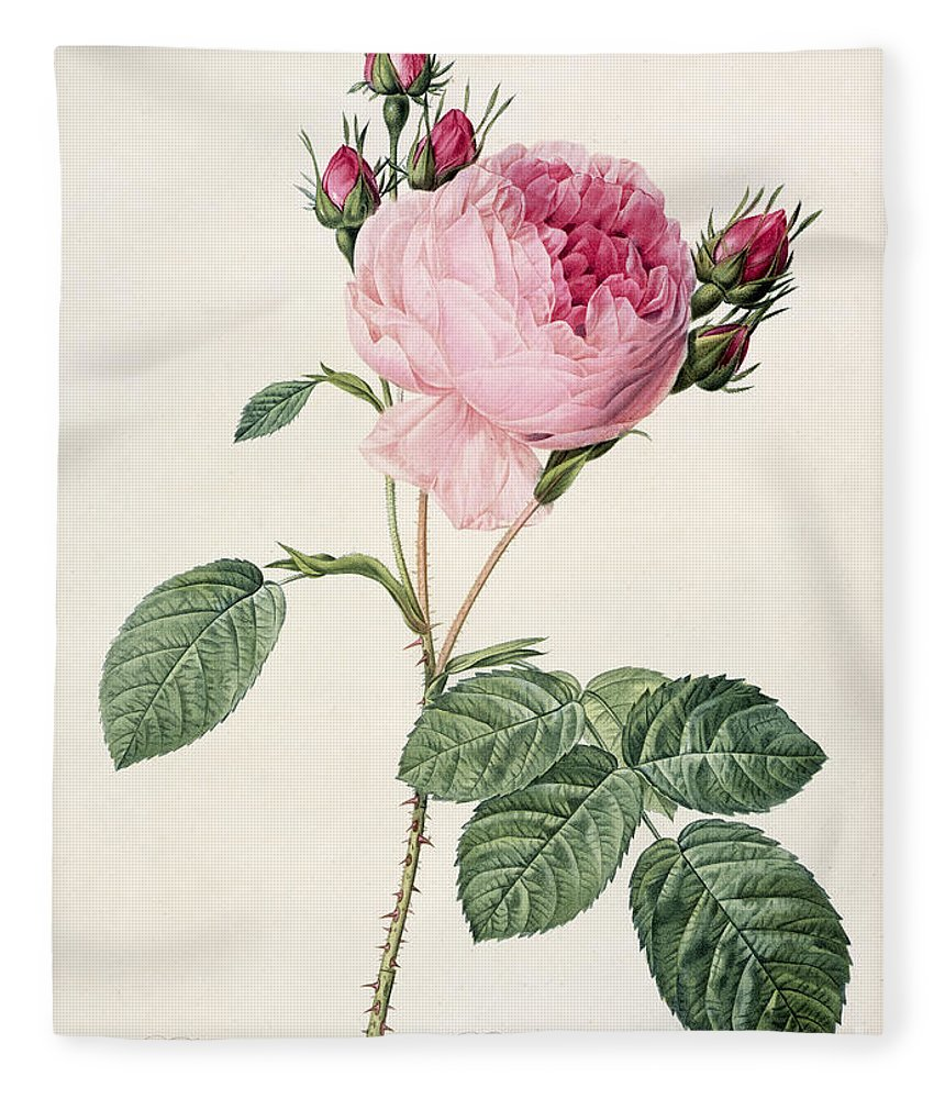 Rosa Fleece Blanket featuring the drawing Rosa Centifolia by Pierre Joseph Redoute