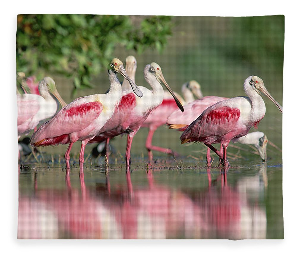 00171421 Fleece Blanket featuring the photograph Roseate Spoonbill Flock Wading In Pond by Tim Fitzharris