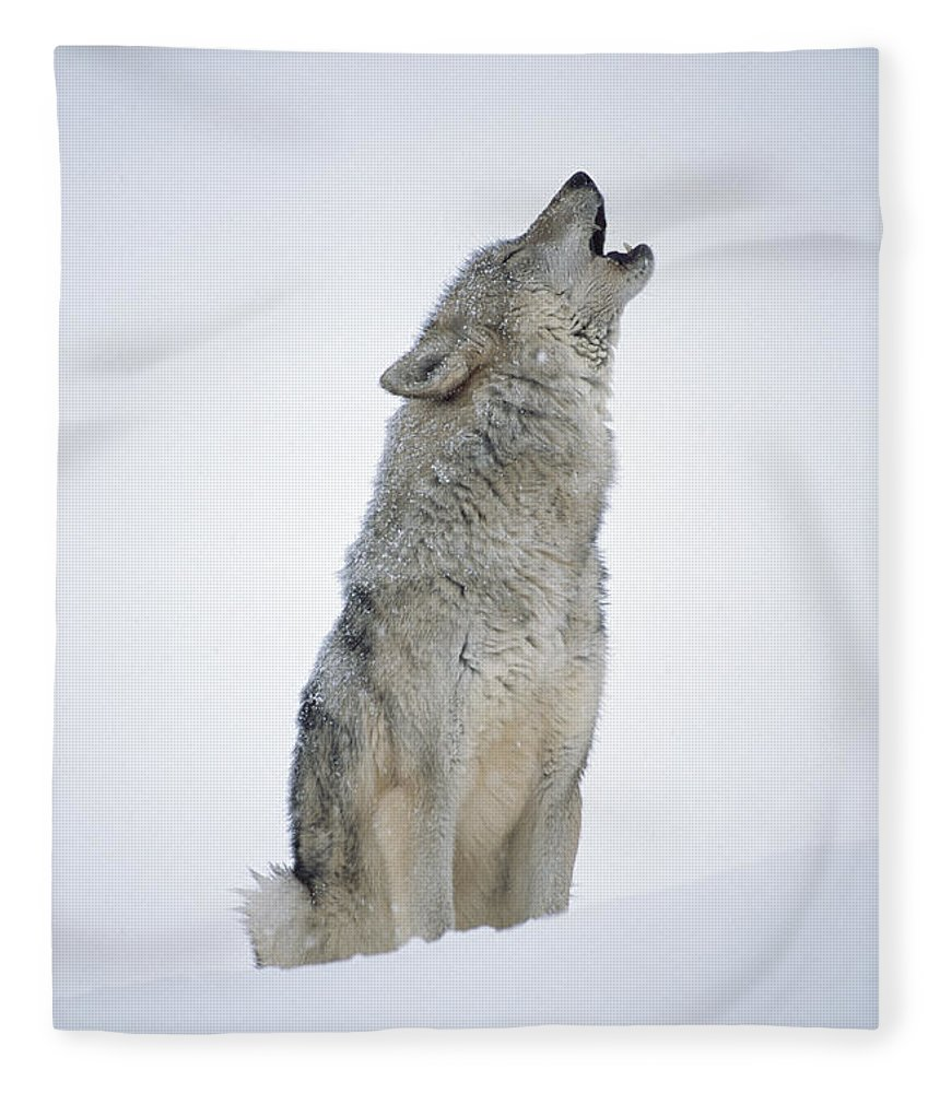 00174271 Fleece Blanket featuring the photograph Timber Wolf Portrait Howling In Snow by Tim Fitzharris