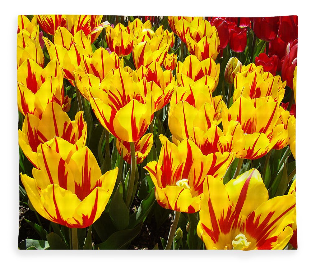 Tulip Fleece Blanket featuring the photograph Tulip Flowers Festival Yellow Red Art Prints Tulips by Baslee Troutman