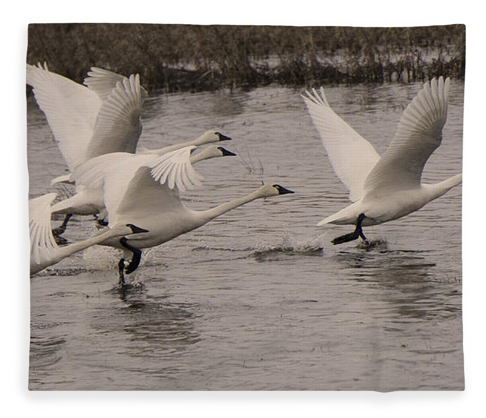 Swan Fleece Blanket featuring the photograph Tundra Swans Take Off by Bob Christopher