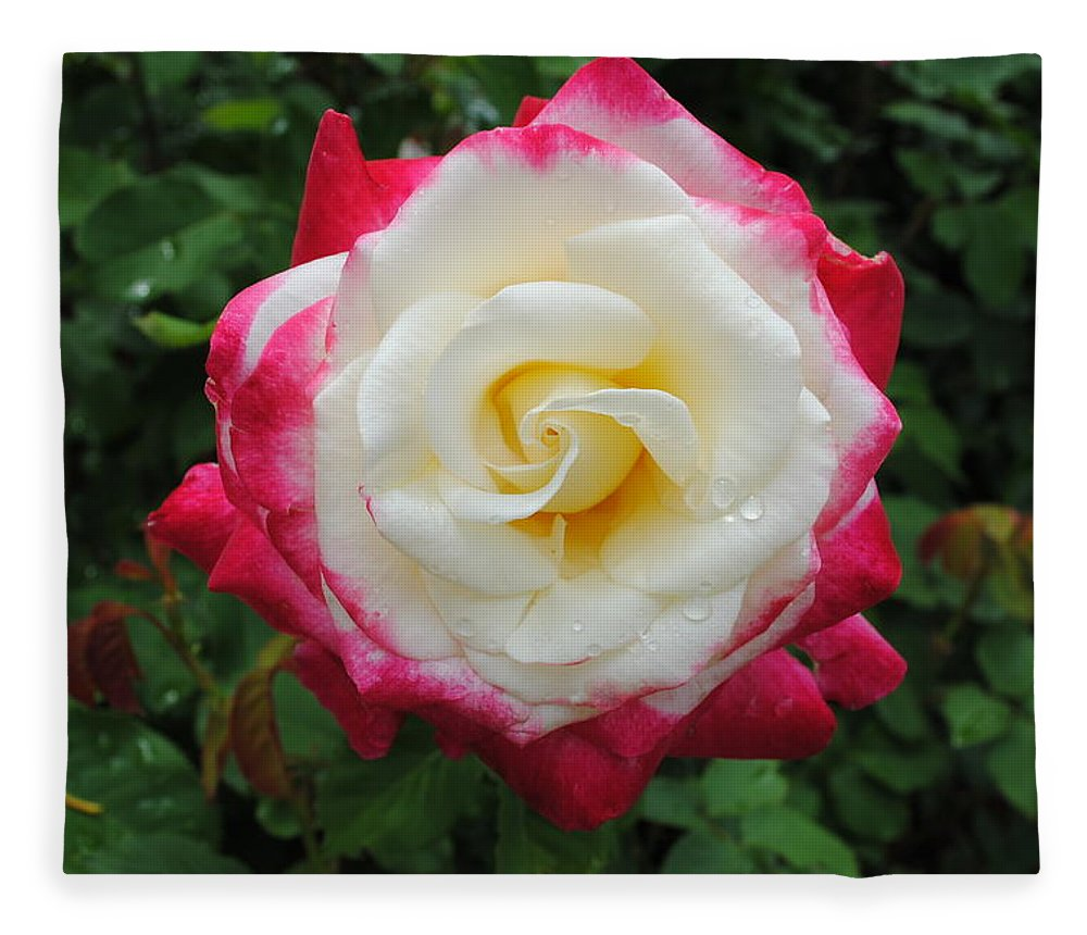White Fleece Blanket featuring the photograph White Red Rose by Jost Houk
