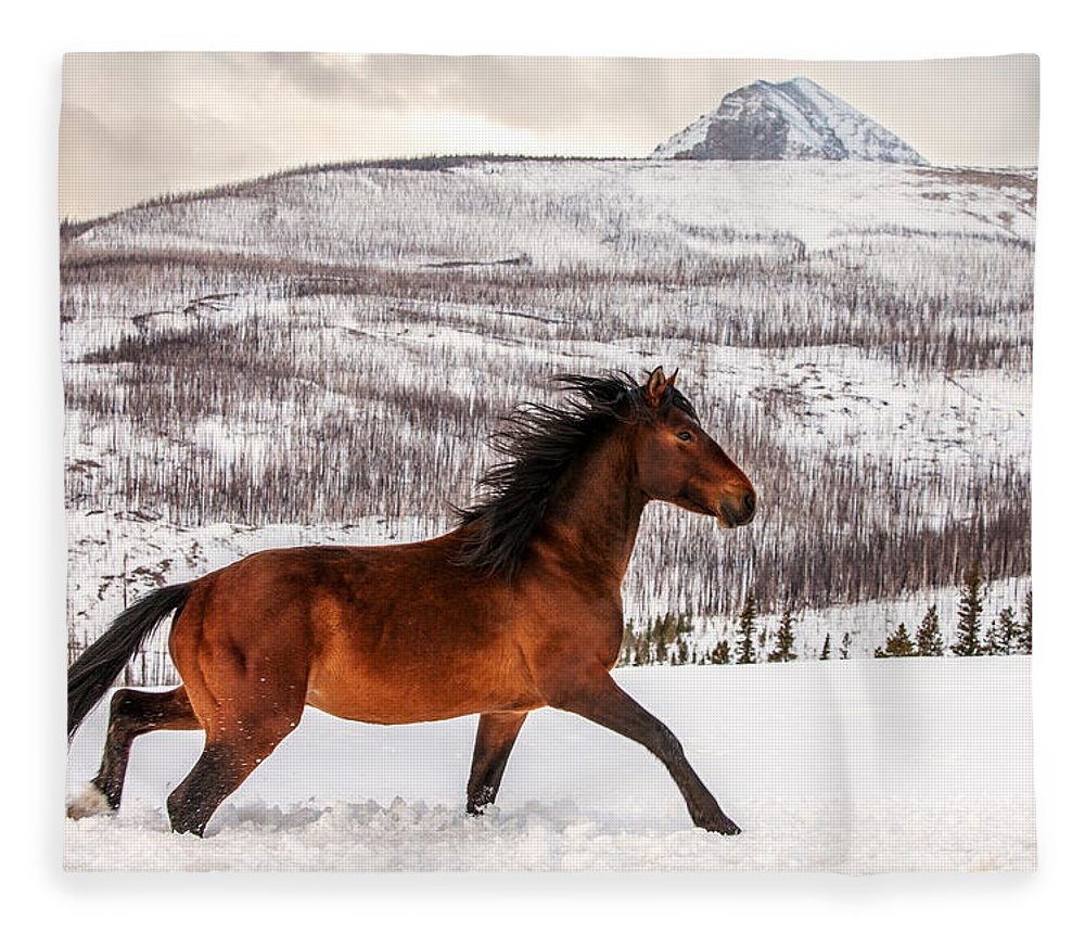 Wild; Horse; Animal; Running; Through; Snow; Mountains; Rocky Mountains; Glacier National Park; Browning; Montana; Mt; Outdoor; Winter; Snow; Snowy; Christmas; Side View; Feral; Wildlife; Stallion; Quarter Horse; Gallop; Galloping; Running; Cute; Beautiful; Blackfeet Nation; Horizontal; Copy Space; Clouds; Sky; Cloudy; Wilderness; Rural; Country; Countryside; Red; Brown; Forest; Action; Equine; Behavior; Wild West; Western; Native American; Nature; Cold; Free Roaming; Beauty; Motion; Best Fleece Blanket featuring the photograph Wild Horse by Todd Klassy