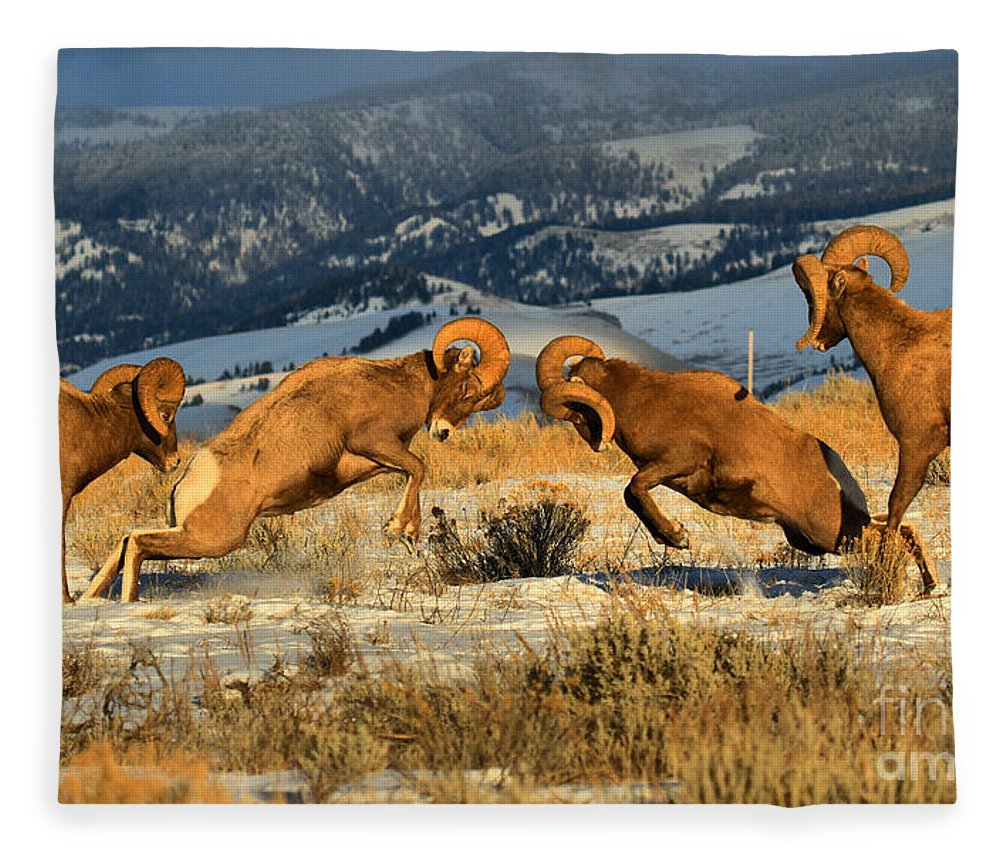 Bighorn Sheep Fleece Blanket featuring the photograph Wyoming Big Horn Brawlers Crop by Adam Jewell