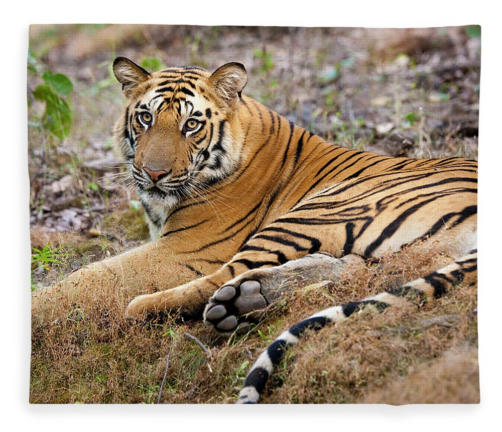 Looking Over Shoulder Fleece Blanket featuring the photograph An Adult Tiger In Bandhavgarh National by Mint Images - Art Wolfe