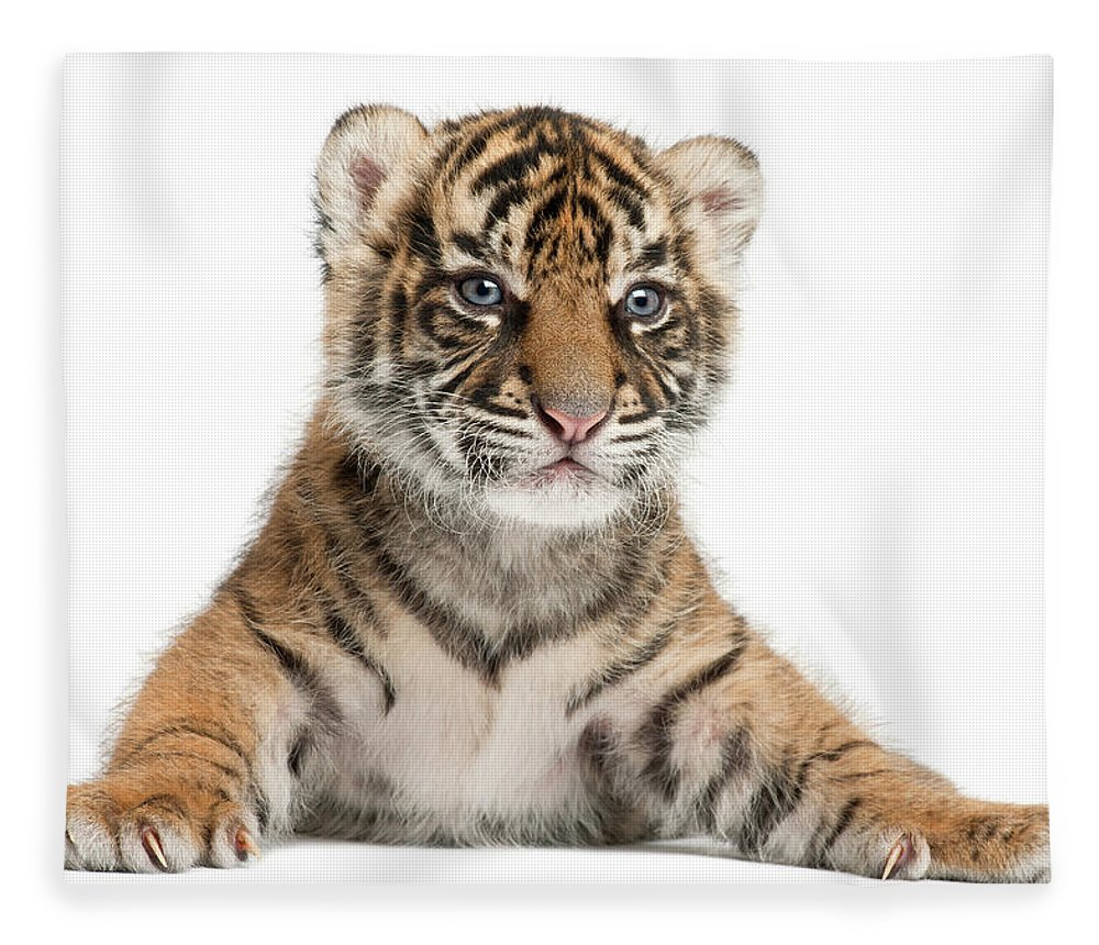 White Background Fleece Blanket featuring the photograph Sumatran Tiger Cub - Panthera Tigris by Life On White