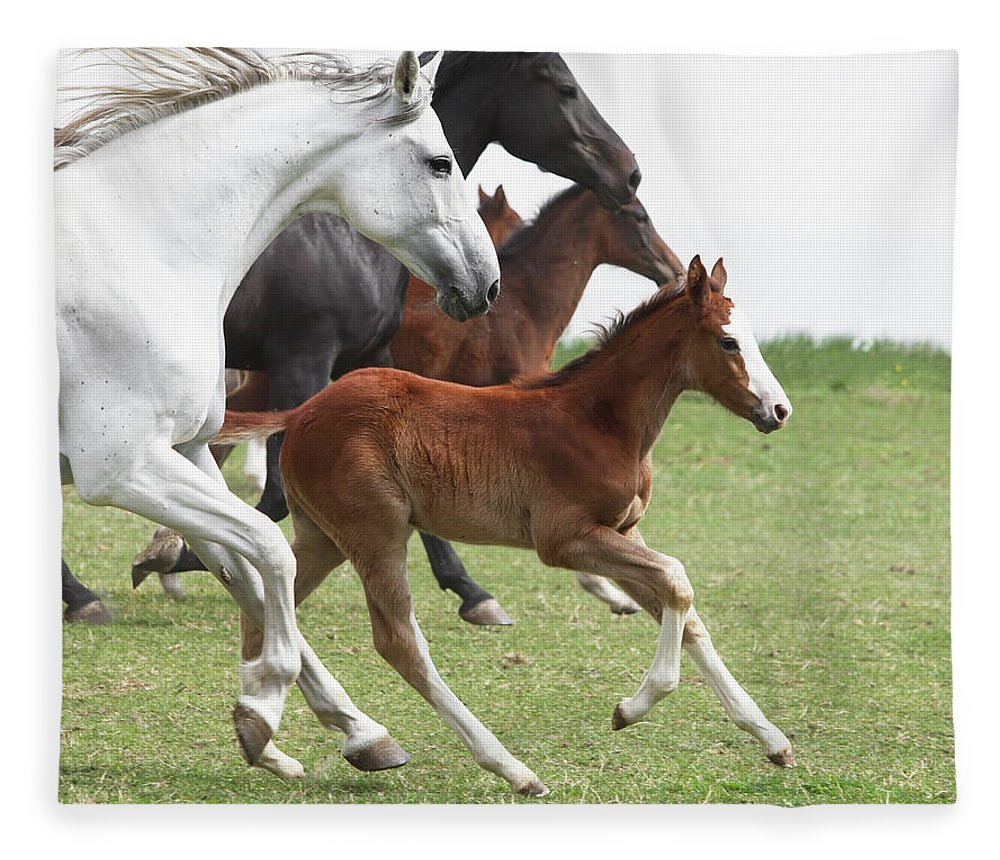 Horse Fleece Blanket featuring the photograph A Group Of Galloping Horses In An Open by Somogyvari