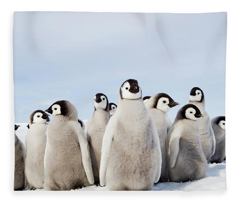 Emperor Penguin Fleece Blanket featuring the photograph A Nursery Group Of Emperor Penguin by Mint Images - David Schultz