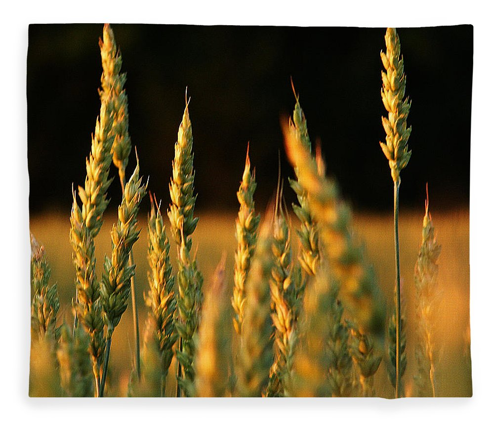 Bakery Fleece Blanket featuring the photograph A Wheat Field Towards The End Of The Day by Ssuni
