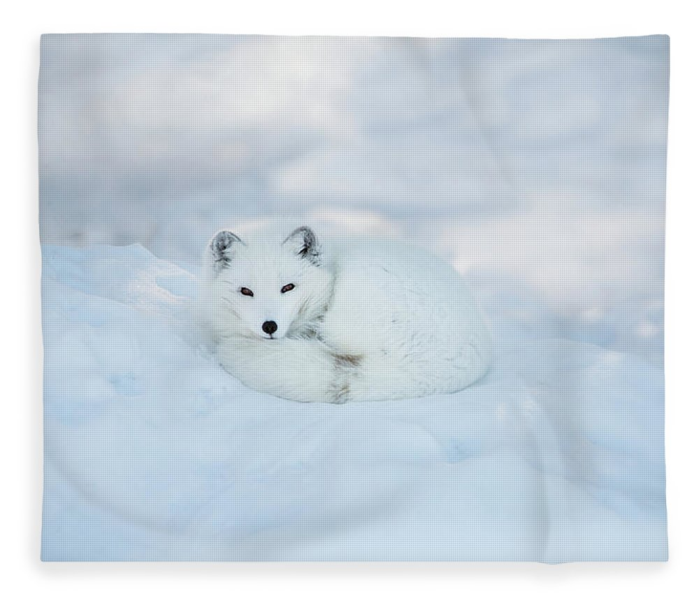 Svalbard Islands Fleece Blanket featuring the photograph Arctic Fox Resting In The Snow by Seppfriedhuber