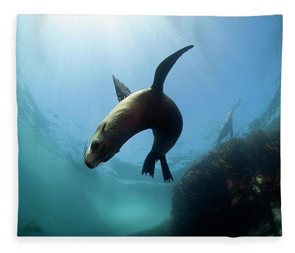 Underwater Fleece Blanket featuring the photograph Australian Fur Seal With Sun Burst by Alastair Pollock Photography