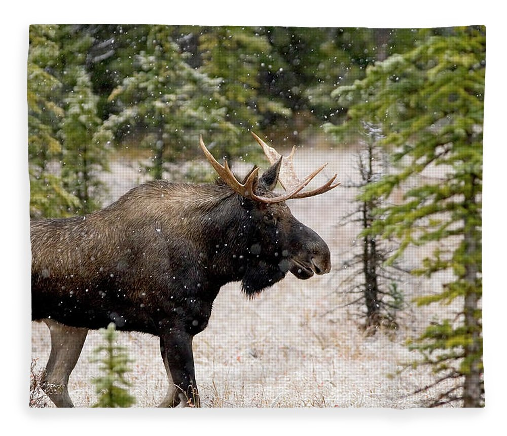 Horned Fleece Blanket featuring the photograph Bull Moose In Snow Fall by Tulissidesign