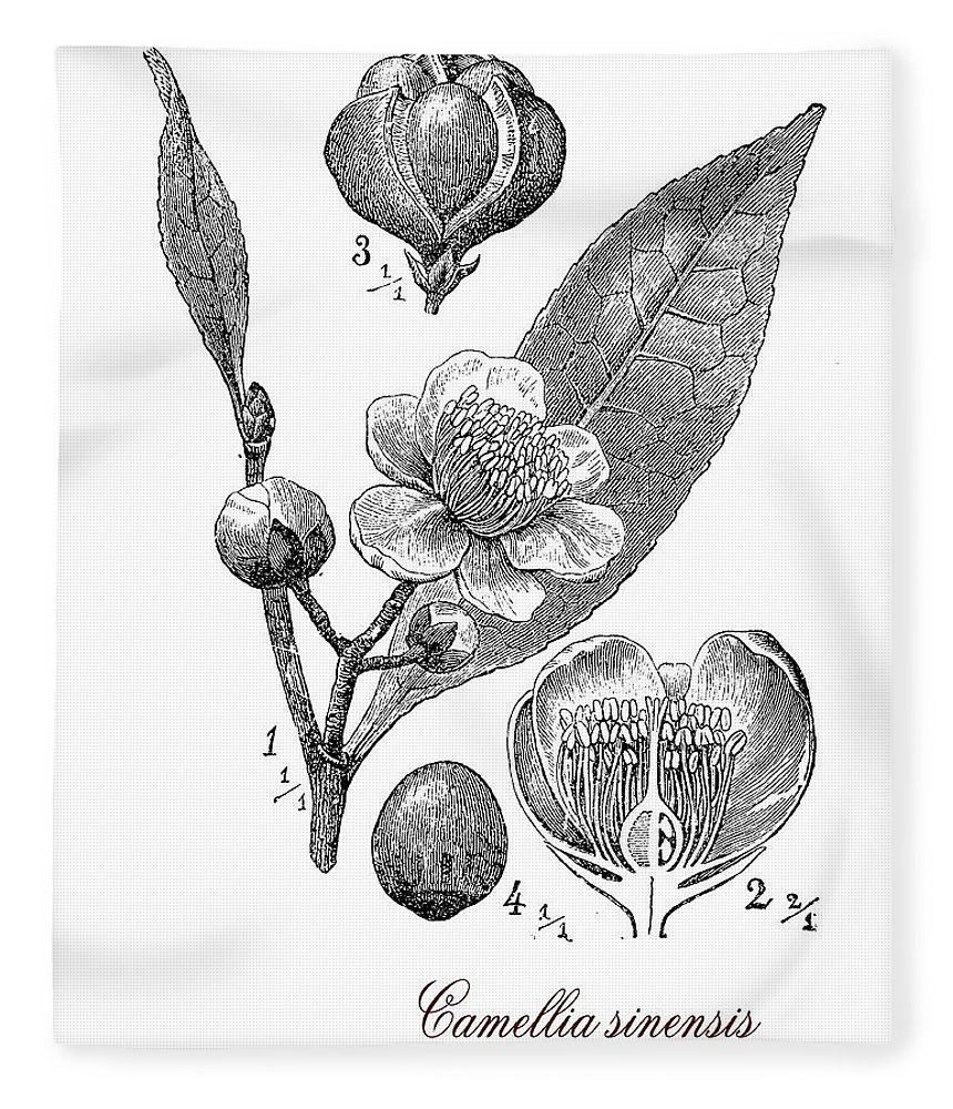 Camellia Sinensis Fleece Blanket featuring the digital art Camellia Sinensis, Botanical Vintage Engraving by Luisa Vallon Fumi