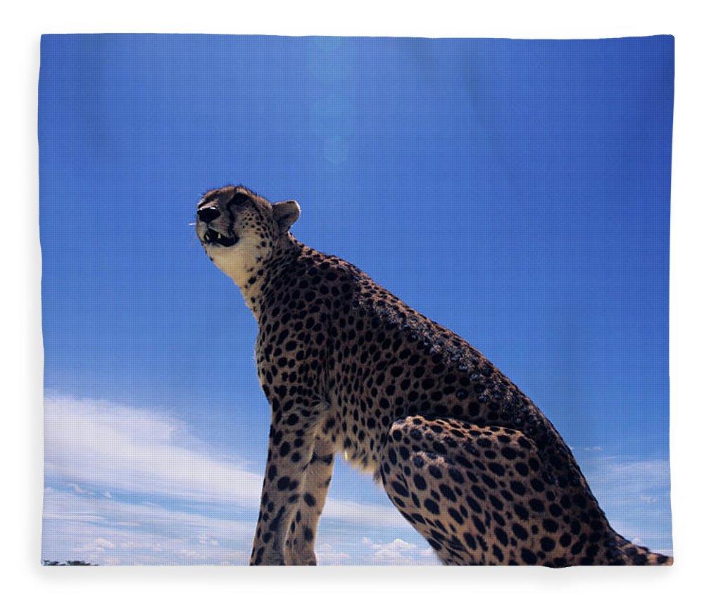 Kenya Fleece Blanket featuring the photograph Cheetah Acinonyx Jubatus, Against Blue by Anup Shah