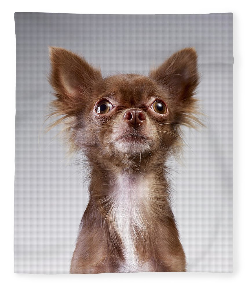 Pets Fleece Blanket featuring the photograph Chihuahua Looking Up by Stilllifephotographer