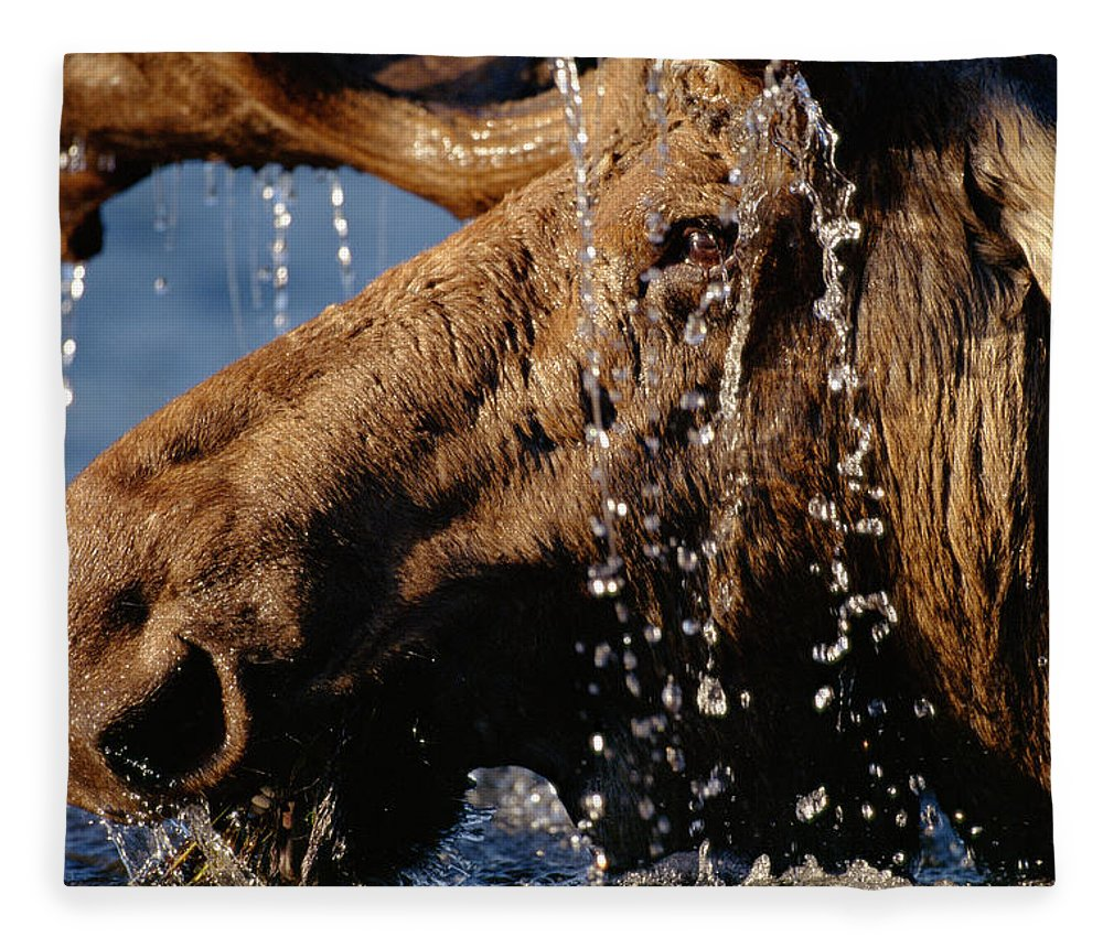 Male Animal Fleece Blanket featuring the photograph Close-up Of Bull Moose Alces Alces With by Eastcott Momatiuk