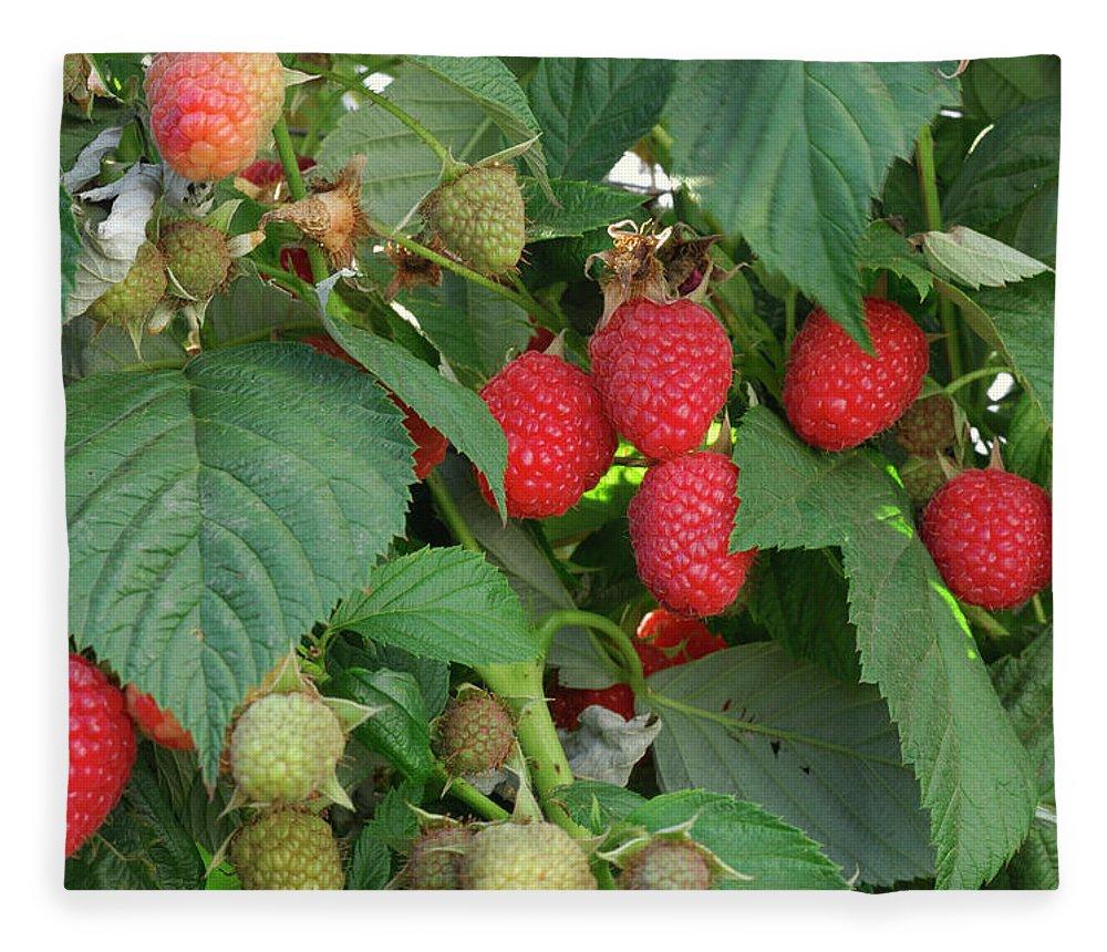 Non-urban Scene Fleece Blanket featuring the photograph Close-up Ripening Organic Raspberries by Gomezdavid