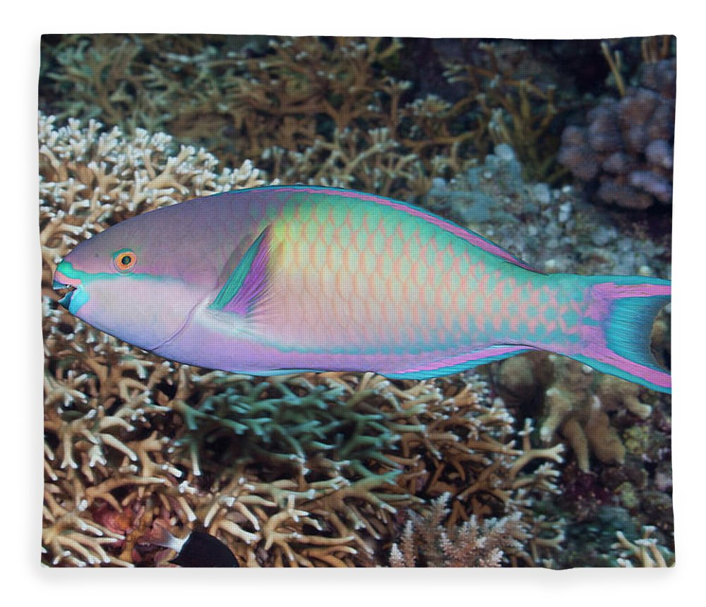 Parrotfish Fleece Blanket featuring the photograph Colorful Parrotfish On A Tropical Coral by Jeff Hunter