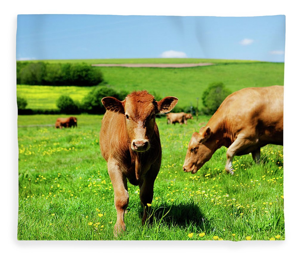 Domestic Animals Fleece Blanket featuring the photograph Cows And Buttercups by Lockiecurrie