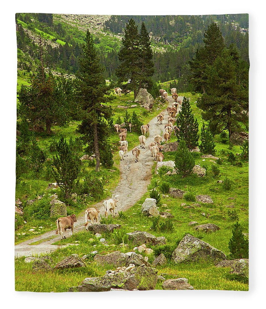 Catalonia Fleece Blanket featuring the photograph Cows Walking In Catalan Pyrenees by Gonzalo Azumendi