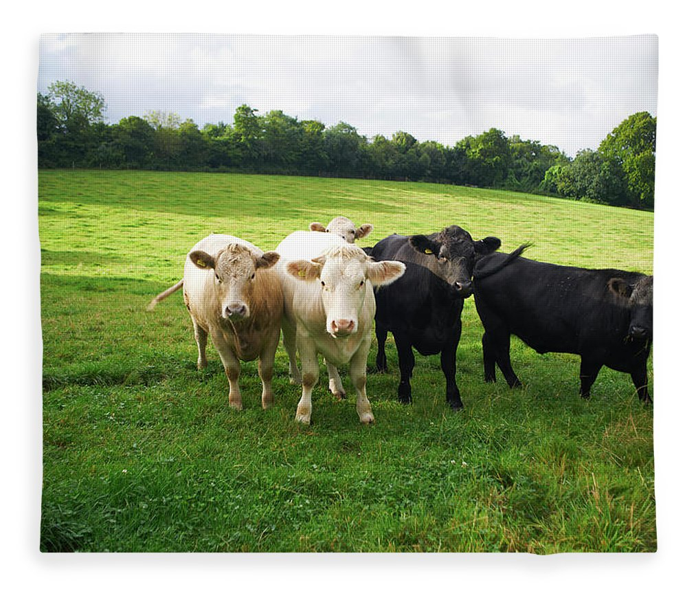Grass Fleece Blanket featuring the photograph Cows Walking In Grassy Field by Peter Muller