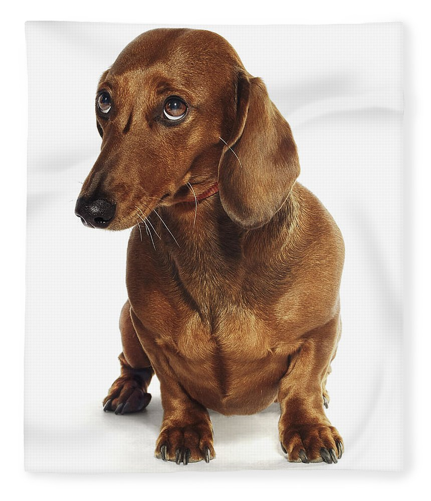 Pets Fleece Blanket featuring the photograph Dachshund Looking Up by Gandee Vasan