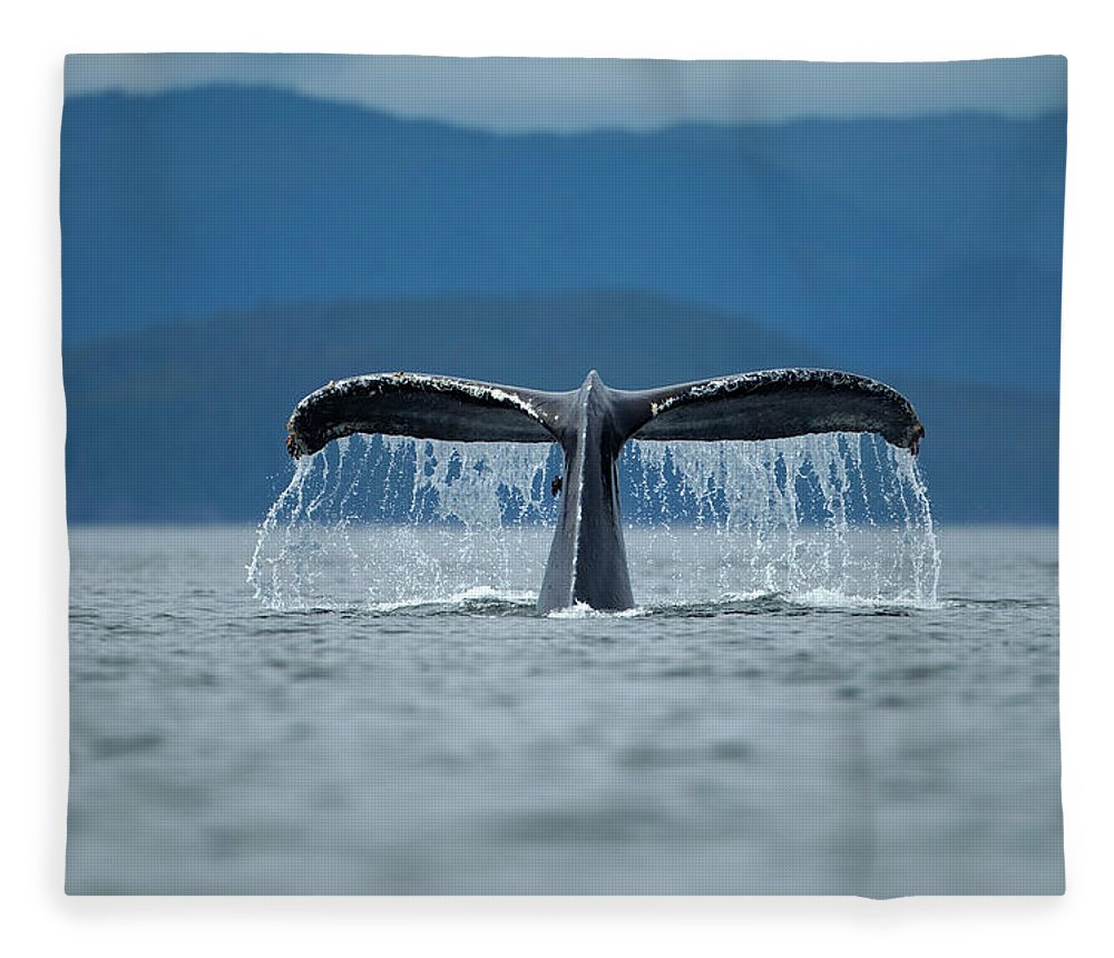 Diving Into Water Fleece Blanket featuring the photograph Diving Humpback Whale, Alaska by Paul Souders