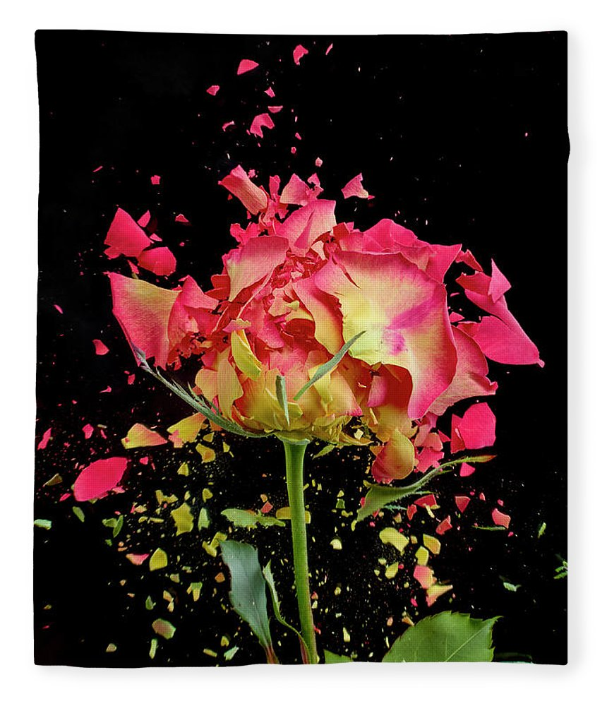Black Background Fleece Blanket featuring the photograph Exploding Rose by Don Farrall