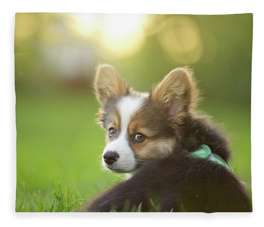 Pets Fleece Blanket featuring the photograph Fluffy Corgi Puppy Looks Back by Holly Hildreth